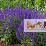 Salvia sau Jaleşul de Grădină