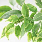 Ficus: o plantă tropicală cu reacţii adverse