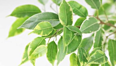 Ficus o plantă tropicală cu reacţii adverse doftoria