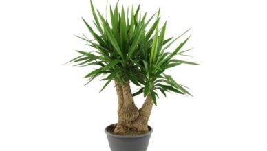 yucca beneficiile unei plante de casa doftoria