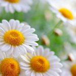 Plante cu efect antibiotic