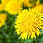 Remedii pentru afecţiuni cu plante de primăvară