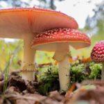 Ciuperci otrăvitoare: intoxicaţia acută