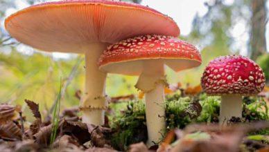 Ciuperci otrăvitoare