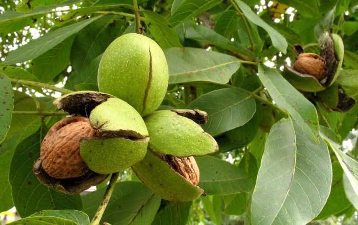 frunze de nuc pentru ten