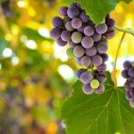 Struguri şi must: beneficii, remedii naturiste, dietă, informaţii