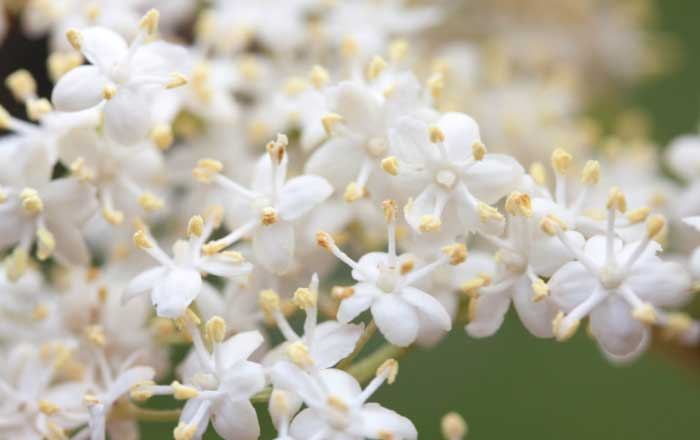 Sirop De Flori De Soc Beneficii Preparare Si Contraindicaţii