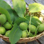 Nuci verzi: beneficiile terapeutice ale acestora