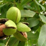 Frunze de nuc: tratamente naturiste cu frunze de nuc
